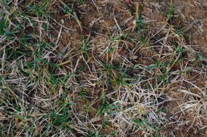 dead grass dirt blog image local lawn care company website london ontario