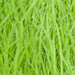 healthy green grass banner image local lawn care company website london ontario
