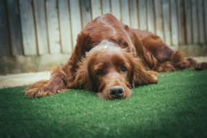 dog on grass blog image local lawn care company website london ontario