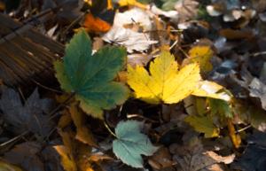 green ninja london ontario raking leaves blog image maple leaves piled on ground