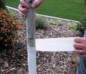 green ninja london ontario tree wrap blog image man wrapping tree with white tape